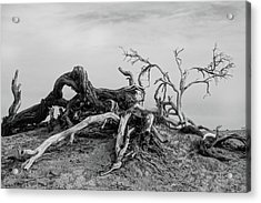 Mesquite Roots - Death Valley 2015 Acrylic Print