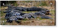 Mess 'o Alligators Acrylic Print