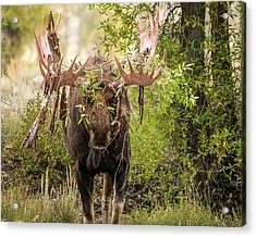 Acrylic Print featuring the photograph Messy Moose by Mary Hone