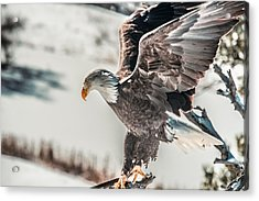 Metallic Bald Eagle  Acrylic Print
