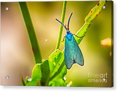 Metallic Forester Moth Acrylic Print by Jivko Nakev