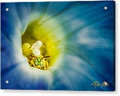 Metallic Green Bee In Blue Morning Glory Acrylic Print