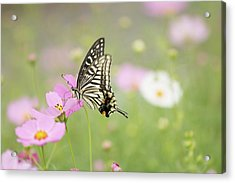 Mexican Aster With Butterfly Acrylic Print