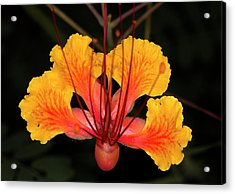 Mexican Bird Of Paradise Acrylic Print by Jim Painter