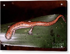 Mexican Palm Salamander Acrylic Print by Dante Fenolio