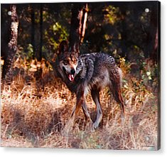 Mexican Red Wolf Acrylic Print by DiDi Higginbotham