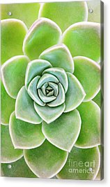 Mexican Snowball Succulent  Acrylic Print by Neil Overy