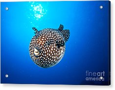 Mexico Guineafowl Puffer Acrylic Print by Dave Fleetham - Printscapes