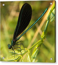 Michigan Damselfly Acrylic Print