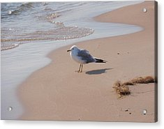 Acrylic Print featuring the photograph Michigan Seagull  by Beth Akerman