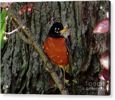 Michigan State Bird Robin Acrylic Print