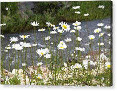 Mickelson Trail Daisies Acrylic Print