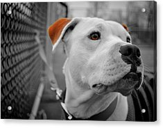 Mickey Brown Eyes Acrylic Print by Emily Stauring