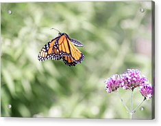 Acrylic Print featuring the photograph Mid-air Monarch 1 by Brian Hale