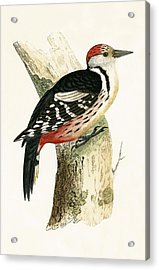 Middle Spotted Woodpecker Acrylic Print