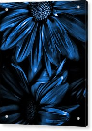 Midnight Blue Gerberas Acrylic Print by Bonnie Bruno