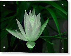 Midnite Lilly In Limelight Acrylic Print by Debbie May