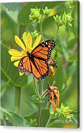 Mighty Monarch   Acrylic Print