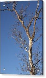 Mighty Tree Acrylic Print