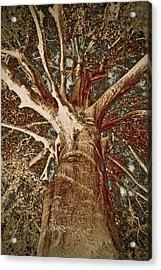 Mighty Tree Acrylic Print by Frank Tschakert