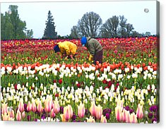 Migrant Workers In The Tulip Fields Acrylic Print by Margaret Hood