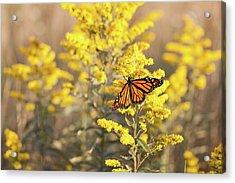 Migrating Monarch Butterfly Moses Cone Memorial Park North Carolina Acrylic Print by Mark VanDyke