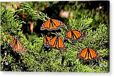 Acrylic Print featuring the photograph Migrating Monarchs by AJ Schibig