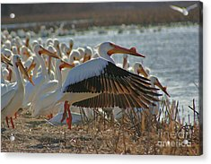 Migrating Pelicans  Acrylic Print by Shari Morehead