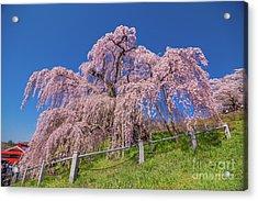 Acrylic Print featuring the photograph Miharu Takizakura Weeping Cherry0565 by Tatsuya Atarashi