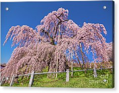 Acrylic Print featuring the photograph Miharu Takizakura Weeping Cherry31 by Tatsuya Atarashi