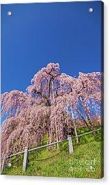 Acrylic Print featuring the photograph Miharu Takizakura Weeping Cherry32 by Tatsuya Atarashi
