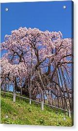 Acrylic Print featuring the photograph Miharu Takizakura Weeping Cherry55 by Tatsuya Atarashi