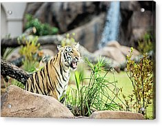 Mike Vii Ready For The Season Acrylic Print