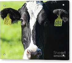 Acrylic Print featuring the photograph Milk Cow At Point Reyes National Seashore California 5dimg9301912 by Wingsdomain Art and Photography