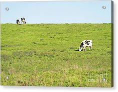 Acrylic Print featuring the photograph Milk Cow At Point Reyes National Seashore California Dsc4882 by Wingsdomain Art and Photography