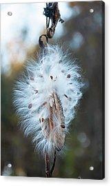 Milkweed And Its Seeds Acrylic Print by Chris Flees
