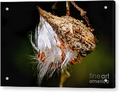 Acrylic Print featuring the photograph Milkweed by Brenda Bostic