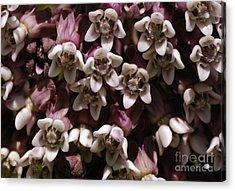 Milkweed Florets Acrylic Print