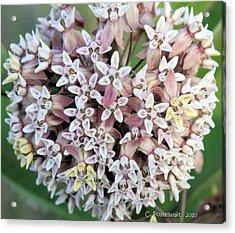 Milkweed Flower Ball Acrylic Print