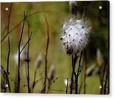 Milkweed In A Field Acrylic Print