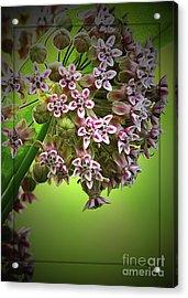 Milkweed In Bloom Acrylic Print by Deborah Johnson