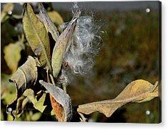 Milkweed Seeds Taking Flight Acrylic Print