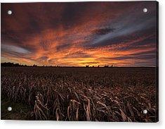 Milo Harvest Sunset Acrylic Print by Chris Harris