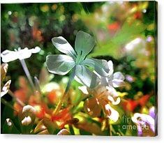 Mimosa Acrylic Print by Alfonso Garcia