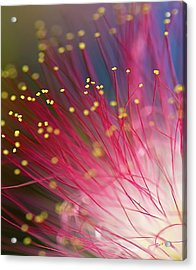 Mimosa Bloom Acrylic Print by Dan Wells