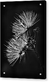 Mimosa Drama Acrylic Print