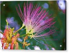 Mimosa Fairy Acrylic Print by Beverly Hammond
