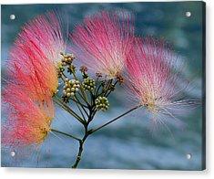 Mimosa Acrylic Print by Farol Tomson