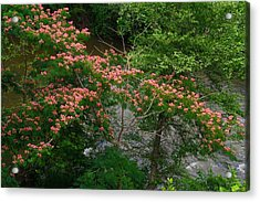 Mimosa On The Dan River Acrylic Print by Kathryn Meyer