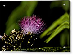 Mimosa Tree Bloom Acrylic Print by Michael Whitaker